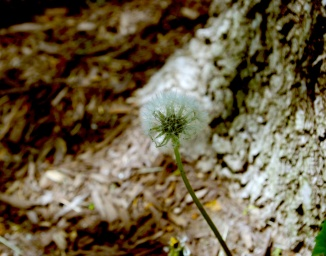 Transitory Dandelion